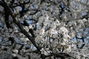 Apple trees in bloom stock #1 by croicroga