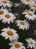 English Daisies 01 by botanystock