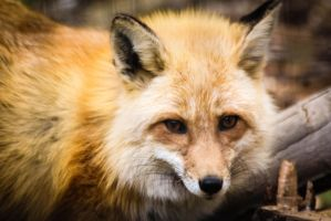 Red Fox Stock 10 by HOTNStock