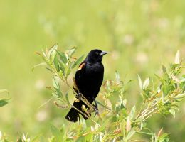 Red Wing Blackbird by sgt-slaughter