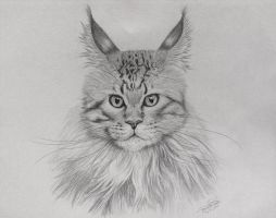 Maine Coon Cat by drawerfun