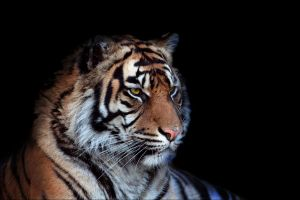 Sumatran Tiger Portrait by cycoze
