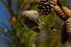 Brown Headed Nuthatch 5 by bovey-photo