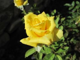 Yellow Rose by hclausen
