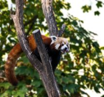 Red Panda II by werram
