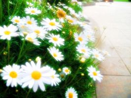 Ensenada daisies by lolitpop