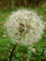 the little dandelion colorful by Judofighter78