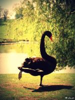 Birds - Black Swan by spanjebob89