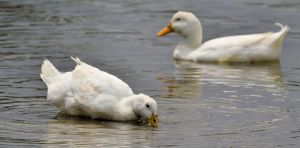 White Ducks by Noble-Kenshi
