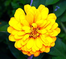 Yellow Aster Daisy by 904PhotoPhactory