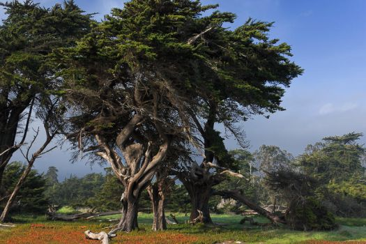 Monterey Cypress by James-Bong