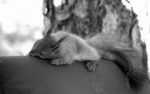 sleeping squirrel by moussee