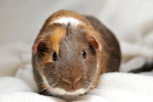 CPR Guinea Pigs LII by LDFranklin