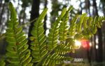 the fern. panoramic wallpaper by dreamerinne