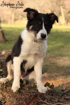 My border collie puppy by fanny3001