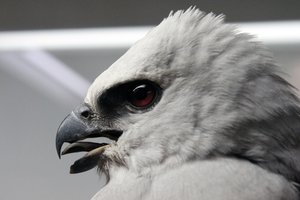 Mississippi Kite Profile reference by TornFeathers