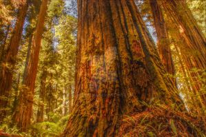 Redwood tree - HDR by Tegatana