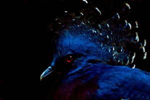 Victoria Crowned Pigeon by cathy001