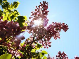 Junes lilacs in June by a-c-tree