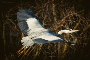 Grey Heron II by Dynnnad
