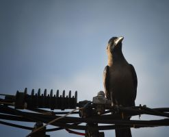 Wired crow by jennystokes