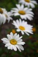 Row of Daisies by druideye
