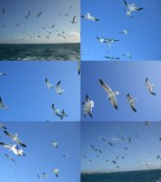 seagull feeding frenzy 1.3 by meihua-stock