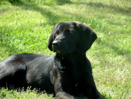 Black Lab 1 by Met-Kaf