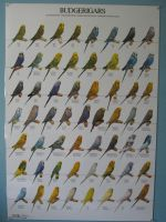 Budgie color mutations poster by Sorath-Rising