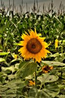 Sunflower HDR by ClintonKun