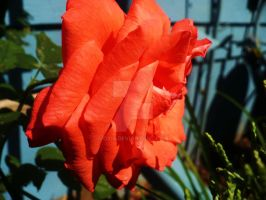 Momma's Rose by Oxis