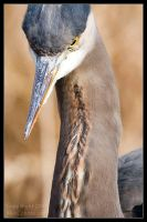 Great Blue Heron Hunting by AlexCphoto