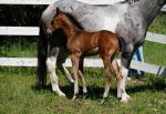 Bay Warmblood Colt 011 by Notorious-Stock