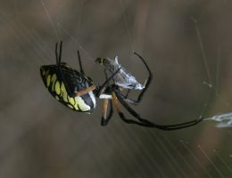BlackYellow Argiope 20D0035042 by Cristian-M