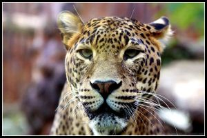 Leopard Portrait by AF--Photography