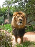 African Lion - 2 by Seans-Photography