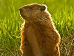 Groundhog at sun rise by MichelLalonde