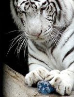 playfull white tiger by blackpearlphotograph