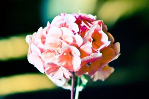 pink flower by Paganpoetry17