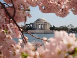 Jefferson Memorial, Cherry Blossom Peak Bloom by juliepat