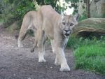 Animals 085 - puma by Dreamcatcher-stock