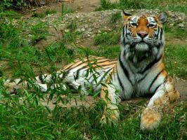 Tigers Look by Creatures-Of-Earth