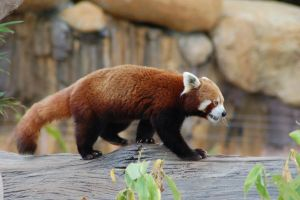 Red panda stock 2 by Chunga-Stock