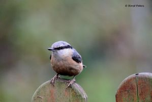 Kleiber /  Nuthatch 12 by bluesgrass