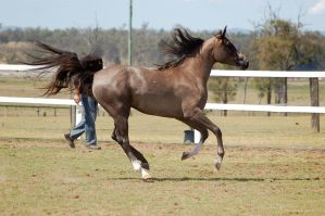 GE Arab rosegrey canter all legs off ground side by Chunga-Stock