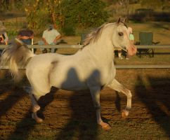 JA Grey Arab trot has shadows by Chunga-Stock