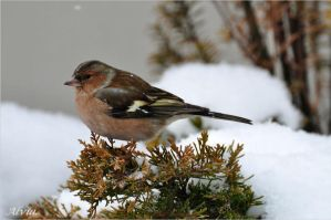 Bird Album- Chaffinch by Alvia