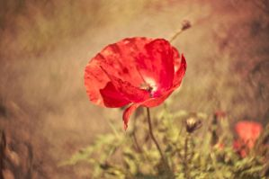 Beautiful floral poppy by PatiMakowska