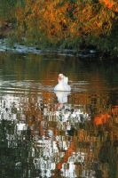 Duck in autum by Wadyface