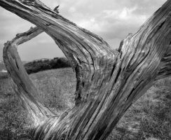 BW Dessicated Tree by braxtonds